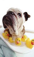 doginbath-bulldogwithducks
