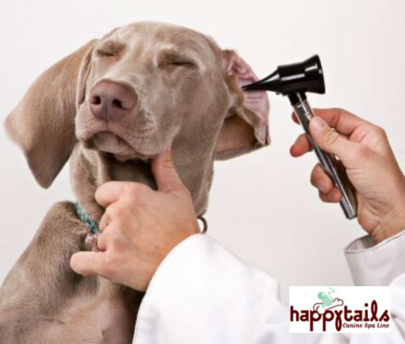 Prevent Nasty Infections With These Tips for Cleaning Your Dog's Ears