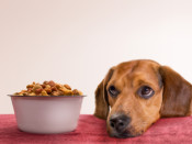 dog- beagle and food